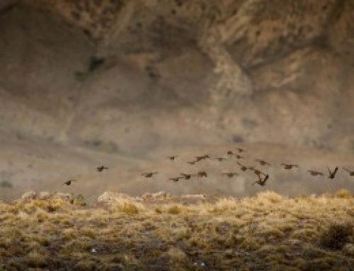 Patagonia Quail Hunting